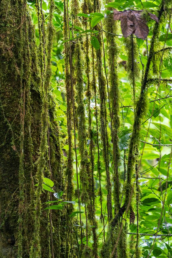 Vines hanging down the side of a tree in the rainforests near Arenal, Alajuela, Costa rica. Green, lush, moss, nature, parks, central, america, fertile stock photos