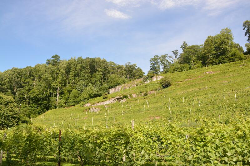 Vines on the hill royalty free stock photography