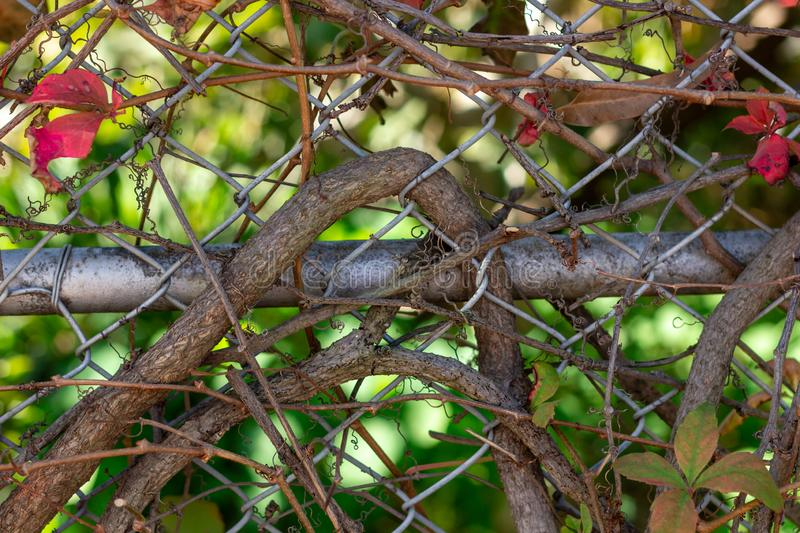 Vines intertwine in a metal fence royalty free stock photography