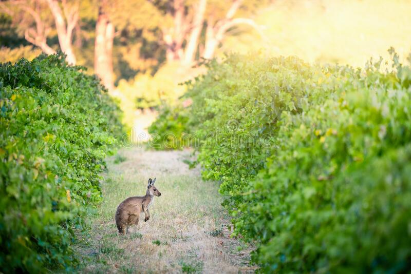 In the Vines royalty free stock images