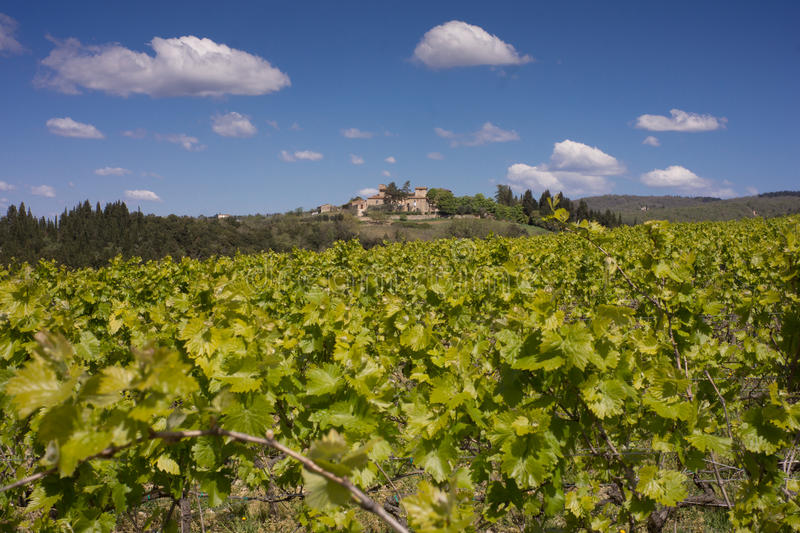 Vines in Montepulciano, Tuscany. MW - bright green new spring growth in the vineyards and rich blue sky at Montepulciano, Italy stock photo