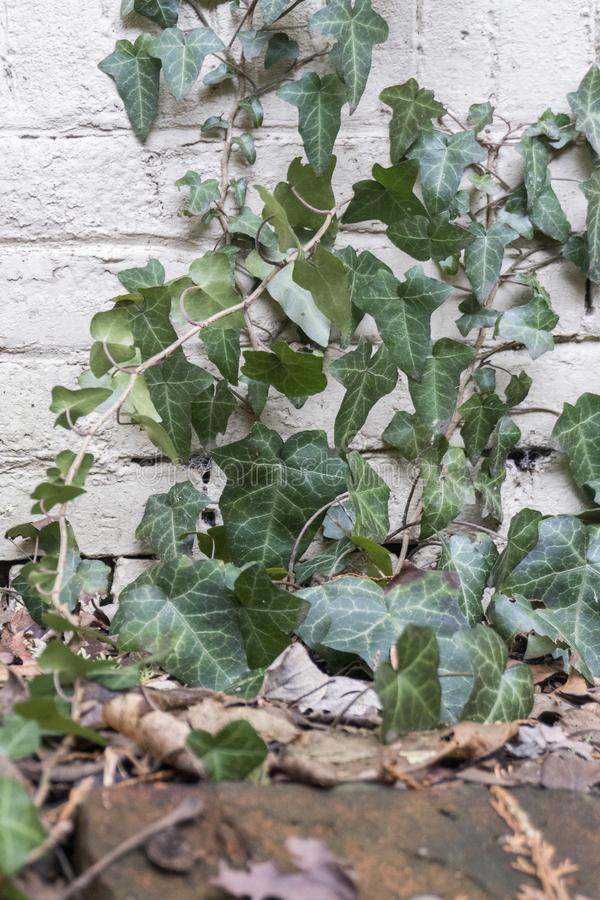 Vines Stretching up a Brick Wall stock image