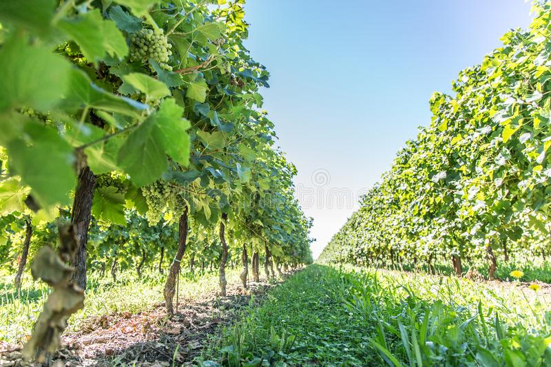 Vines at the sunny autumn day.  stock image