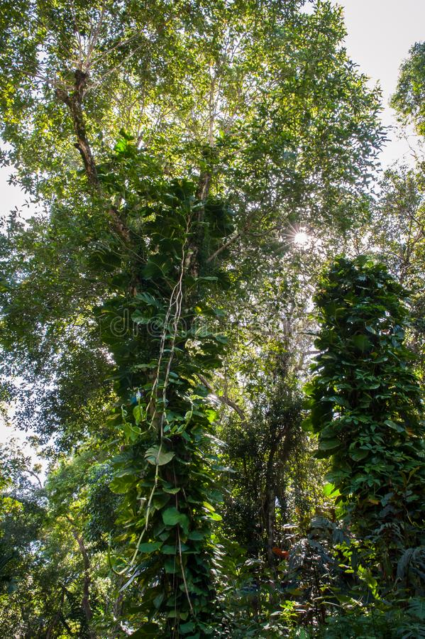 Vines and trees royalty free stock photo