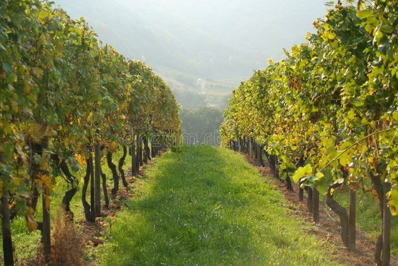 Download Vines in vineyard stock photo. Image of countryside, field - 3459242