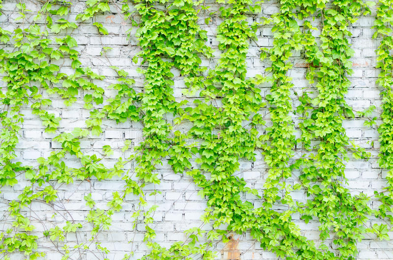 Vines And Walls Stock Image. Image Of Design, White, Green