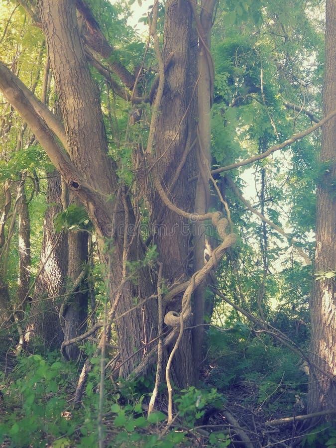 Viney树 库存图片