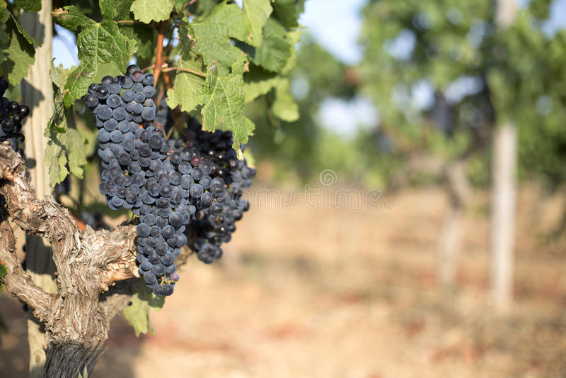 Vineyaddruiven stock foto's