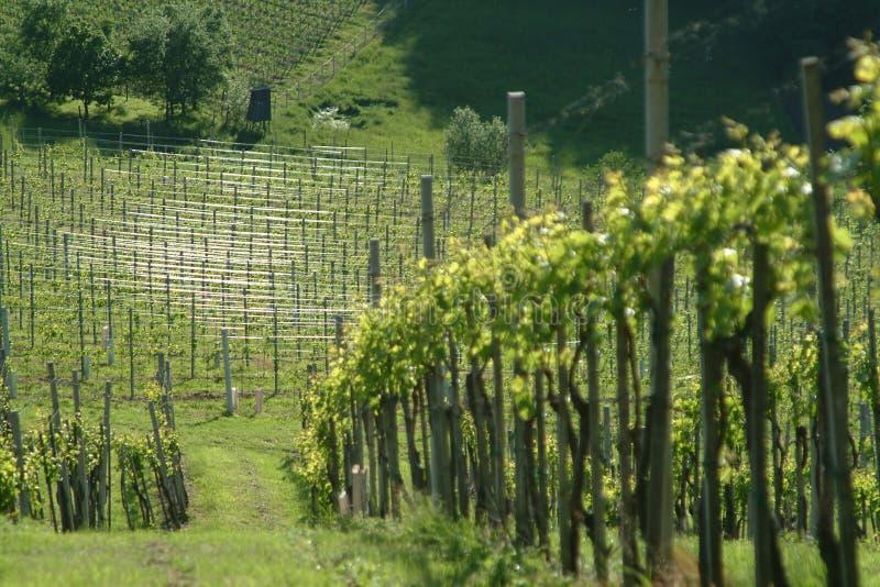 Vineyard. Green vineyard idyll in the toscana stock image