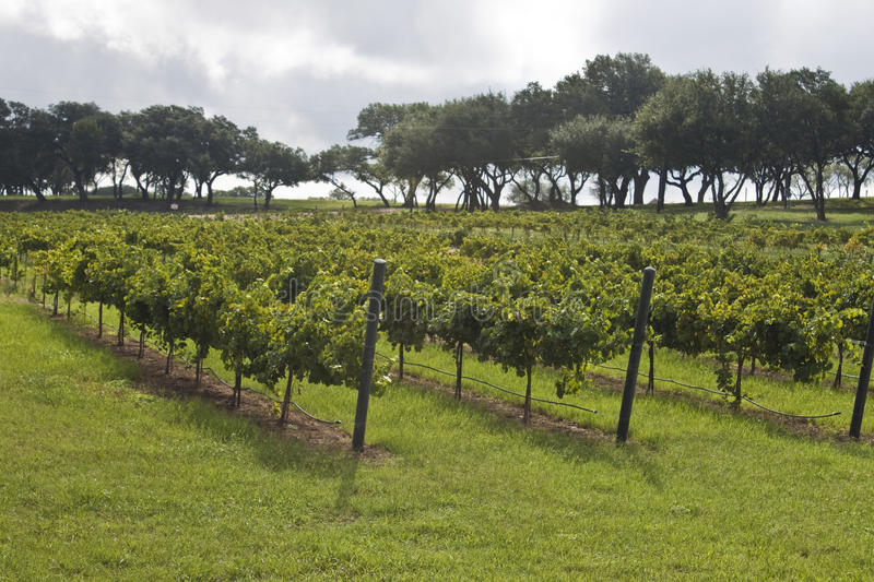 Vineyard. Texas HIll Country Vineyard in the heart of Texas wine country near Federciksburg, Texas royalty free stock photo