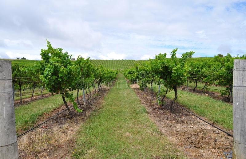 Download Vineyard stock image. Image of grape, grass, path, foliage - 18747835