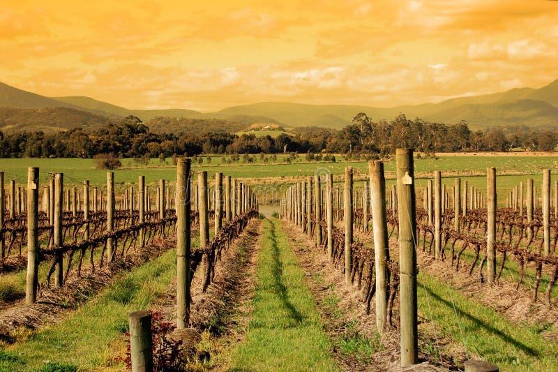 Download Vineyard stock photo. Image of autumn, flora, scenic - 21052394