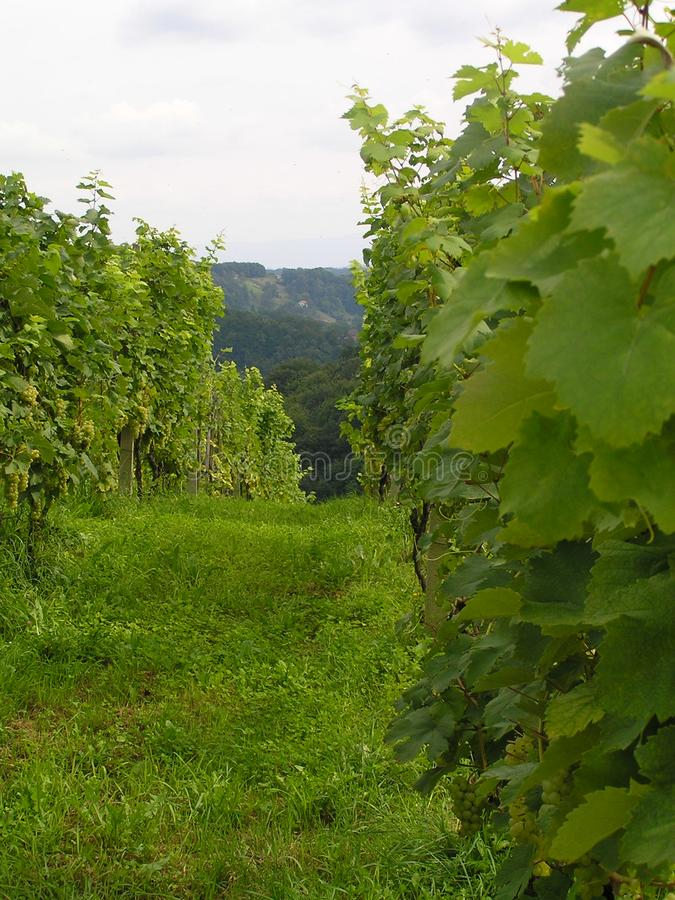 Vineyard Free Stock Photo