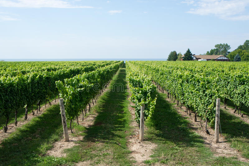Download Vineyard stock image. Image of sunny, winery, rural, plant - 22650821