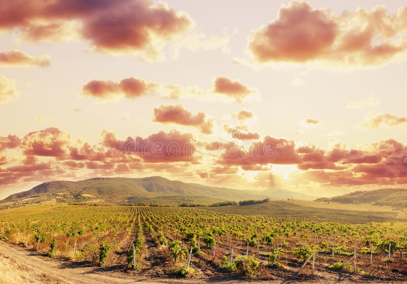 Download Vineyard Stock Photography - Image: 22954862