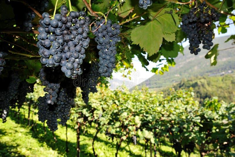 Download Vineyard stock image. Image of tree, ripe, growing, juicy - 23172891