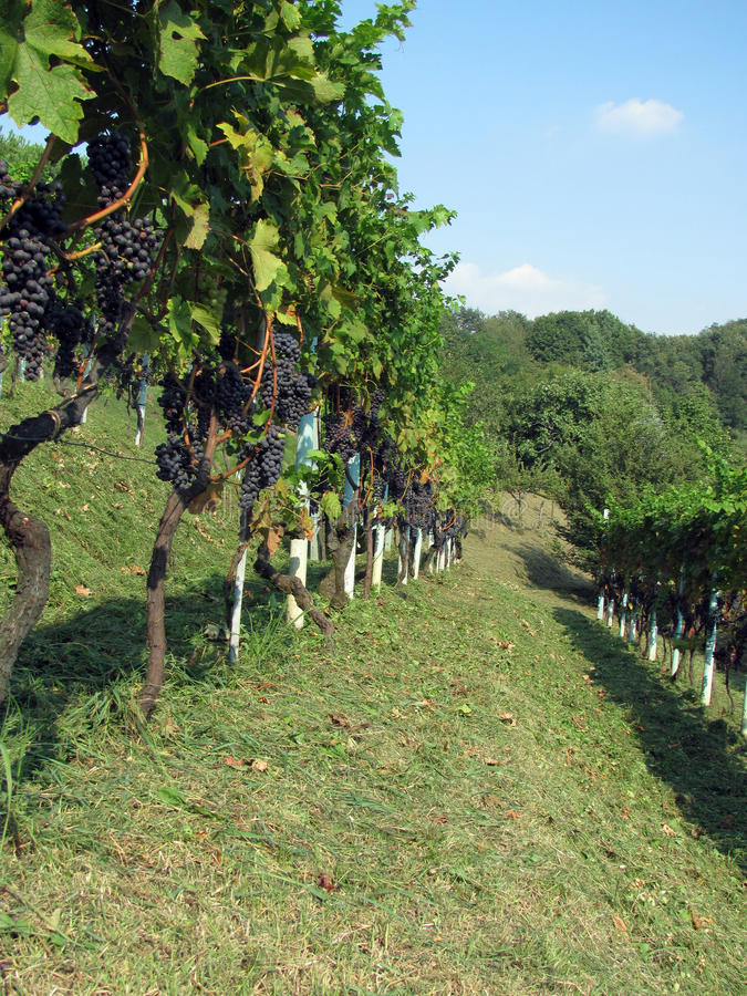 Download Vineyard stock photo. Image of leaf, wine, agriculture - 24805756