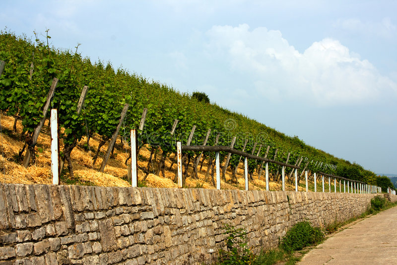 Download Vineyard stock image. Image of climber, slope, vineyard - 2594089