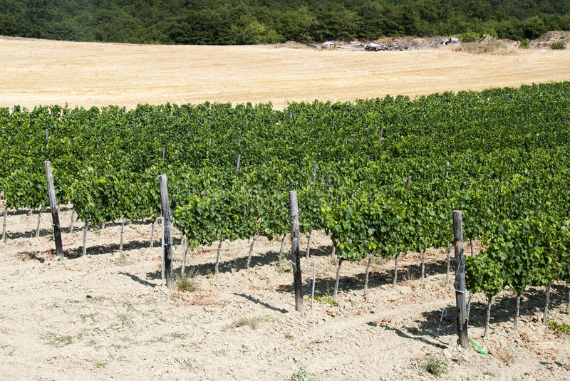 Download Vineyard stock image. Image of fruits, harvest, farmland - 25958309