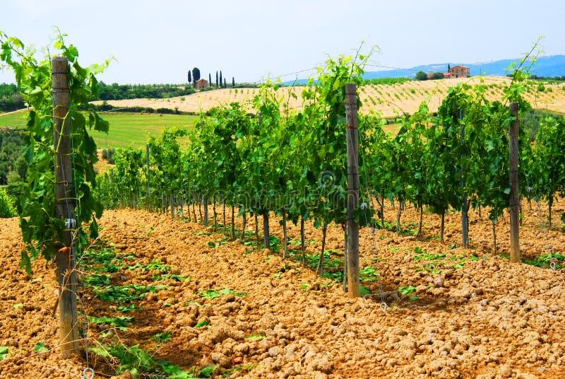 Download Vineyard stock photo. Image of summer, field, beverage - 2743004