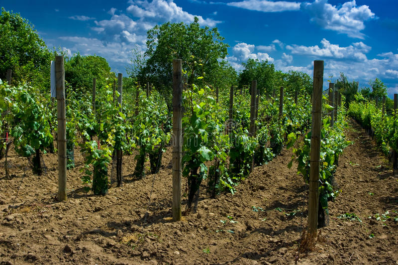Download A vineyard. stock image. Image of field, fruit, agriculture - 28932269
