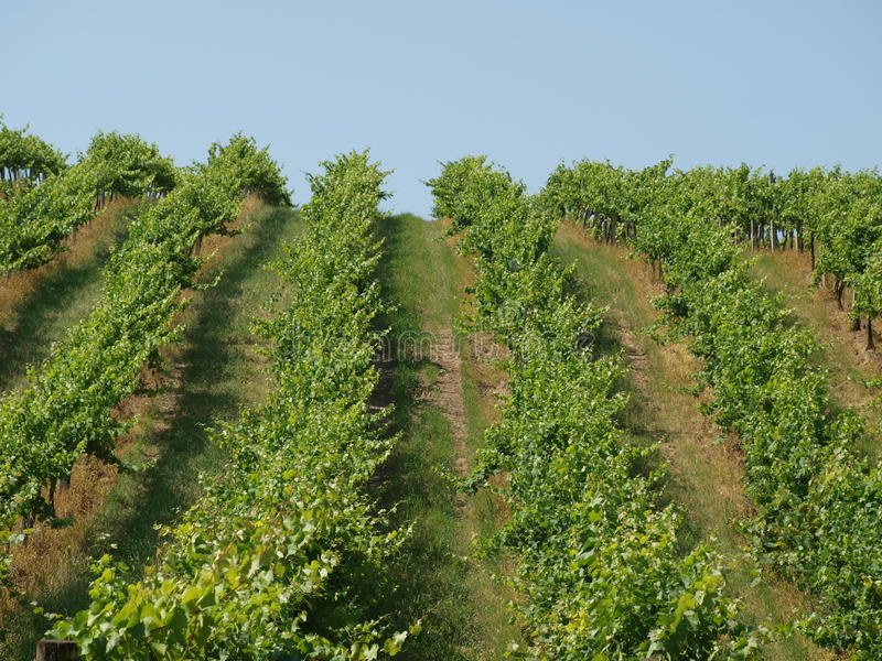 Vineyard. Slope vineyard against the blue sky royalty free stock photography
