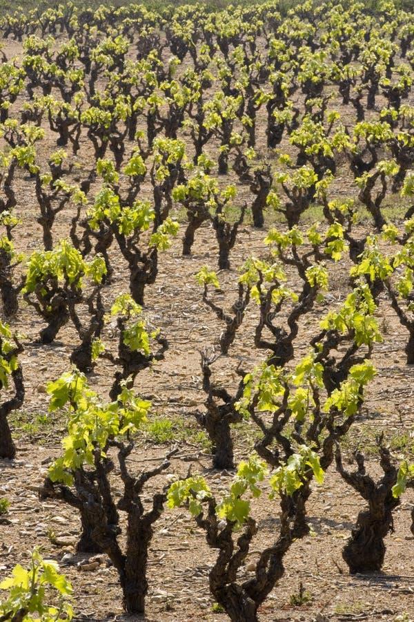 Free Vineyard Royalty Free Stock Images - 3027109