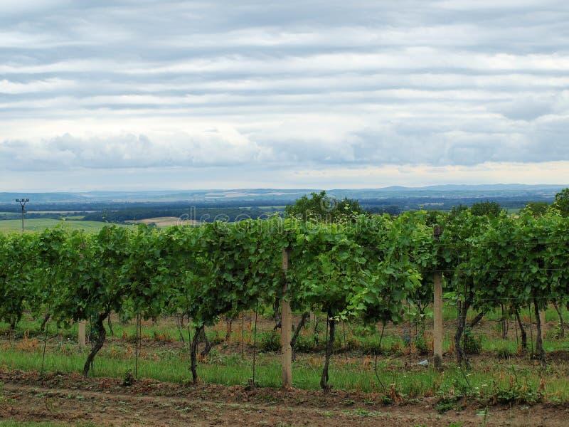 Download Vineyard stock photo. Image of grapes, page, vineyards - 38297984