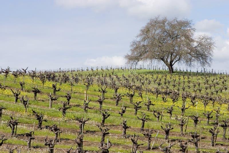 Vineyard 4 royalty free stock photos