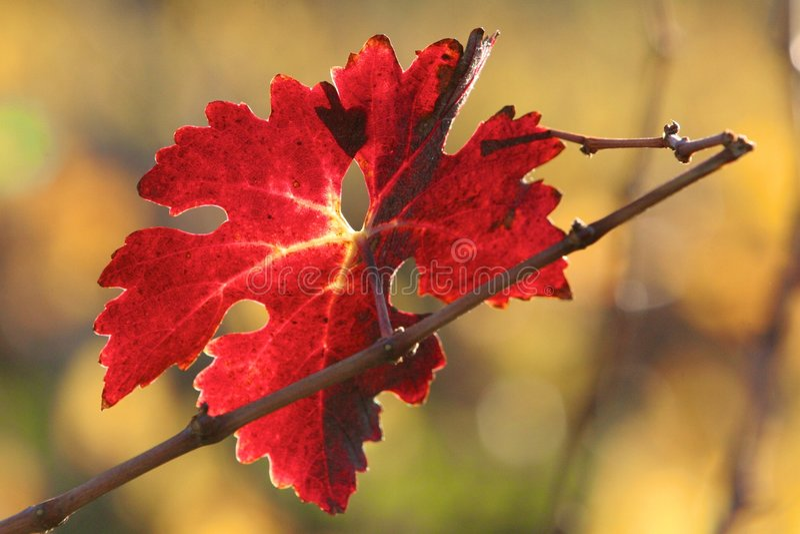 Download Vineyard stock photo. Image of grapes, vineyards, wine - 7270206