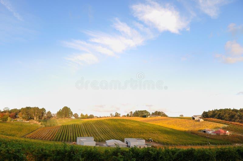 Vineyard in Adelaide hills royalty free stock image