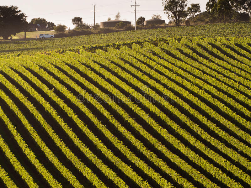 Vineyard in Adelaide hills. Car passing by a Vineyard in Adelaide hills royalty free stock photos