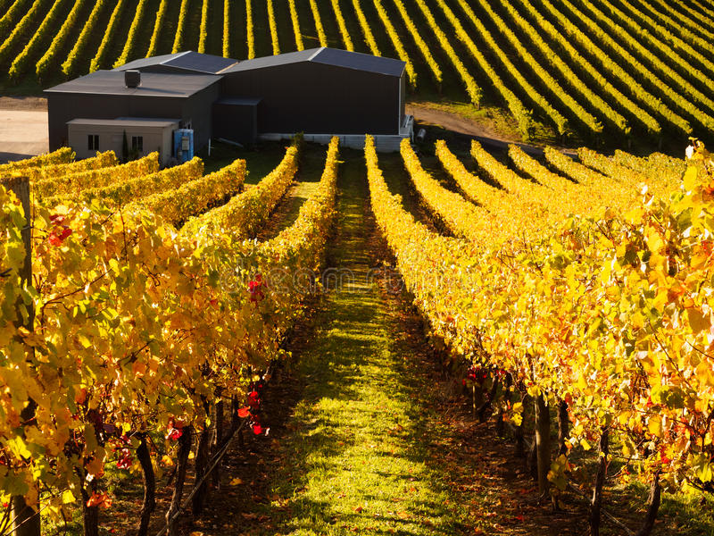 Vineyard in Adelaide Hills. South Australia in the autumn stock photography
