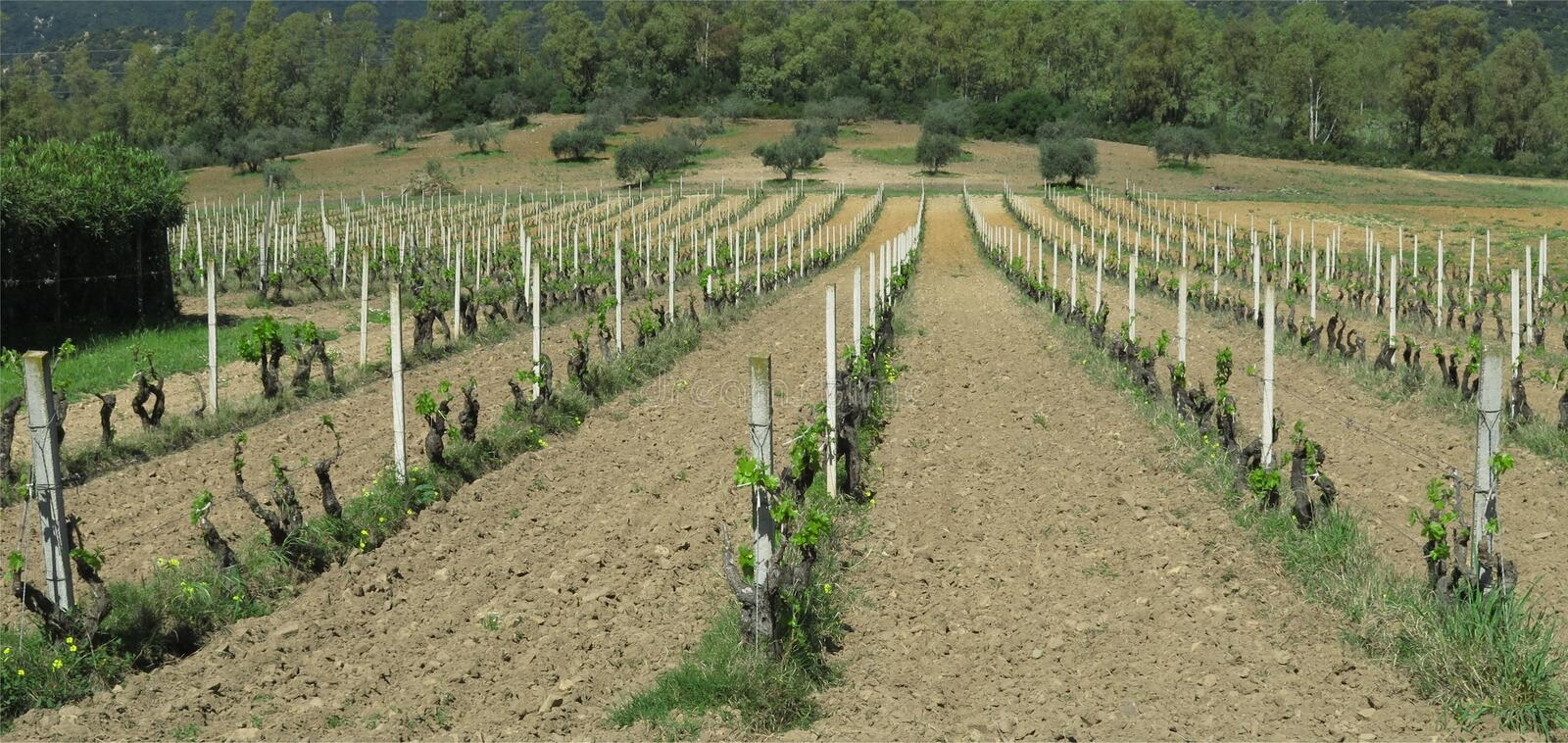 Vineyard in April. Vineyard of Cannonau in a sunny day of April royalty free stock image