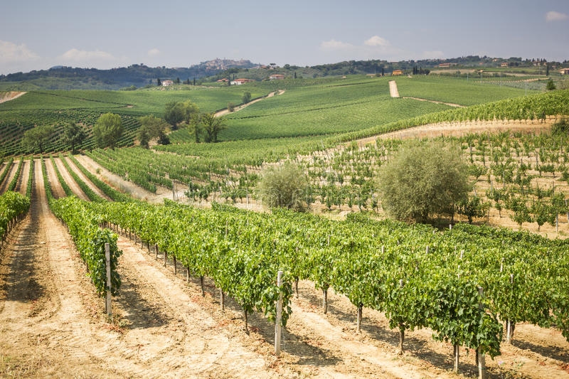 Vineyard in the area of production of Vino Nobile, Montepulciano, Italy. Vino Nobile di Montepulciano is an italian DOCG red vine produced in the royalty free stock image