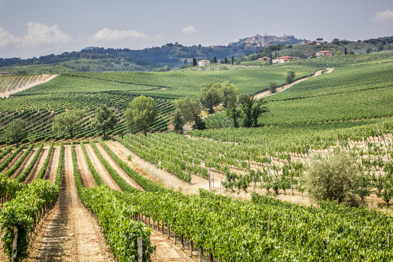 Vineyard in the area of production of Vino Nobile, Montepulciano, Italy. Vino Nobile di Montepulciano is an italian DOCG red vine produced in the stock photo