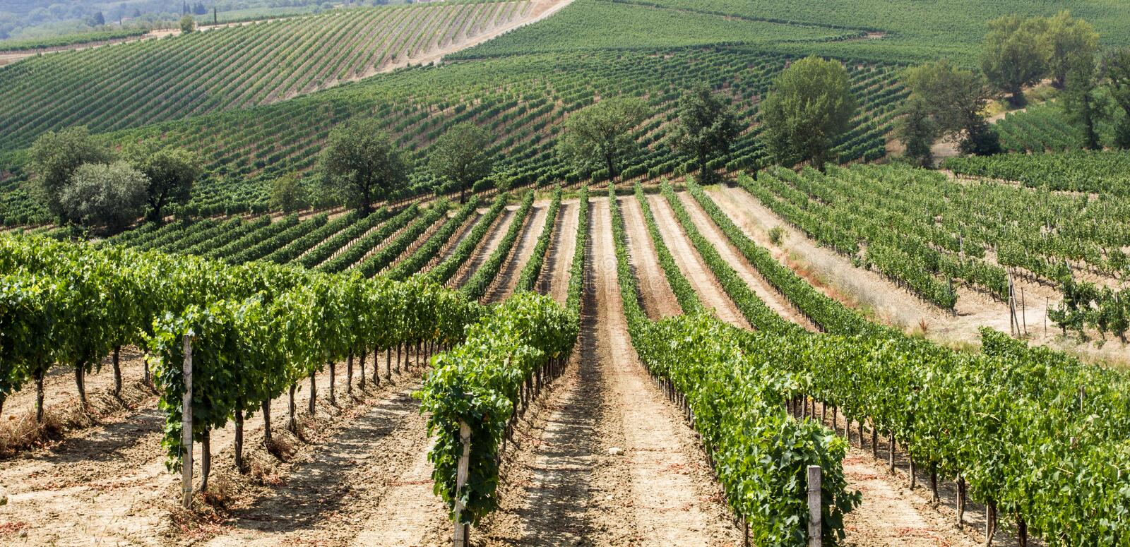 Vineyard in the area of production of Vino Nobile, Montepulciano, Italy. Vino Nobile di Montepulciano is an italian DOCG red vine produced in the stock photography