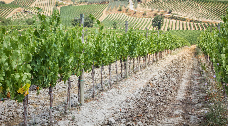 Vineyard in the area of production of Vino Nobile, Montepulciano, Italy. Vino Nobile di Montepulciano is an italian DOCG red vine produced in the royalty free stock images
