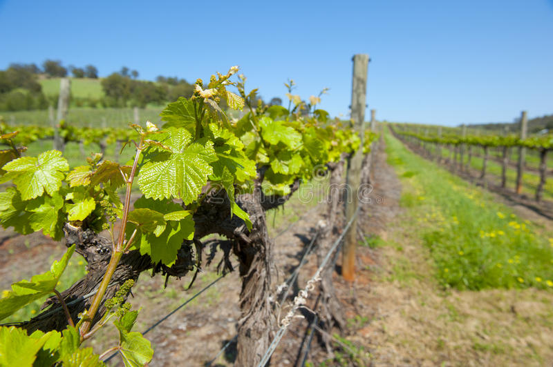 Download Vineyard in Australia stock photo. Image of hill, blue - 21487698