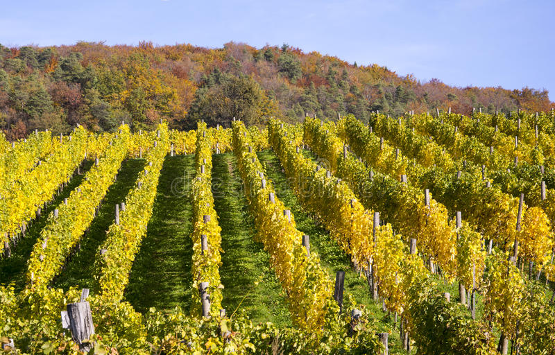 Vineyard in autum. After the last harvesting of grapes has been done royalty free stock photography