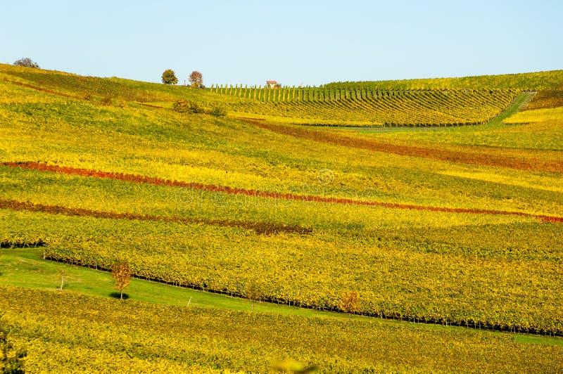 Vineyard during autum in Rhine-Hesse, Rheingau, Germany royalty free stock images