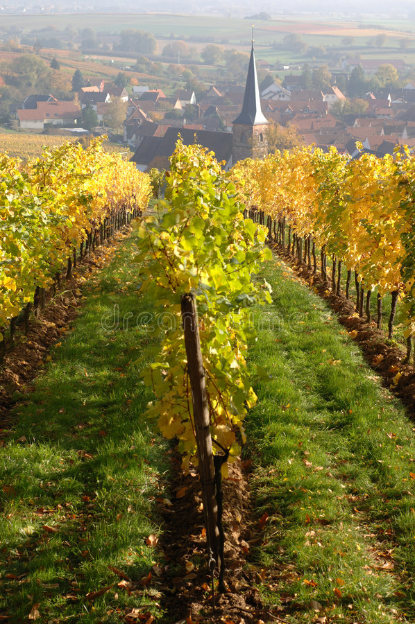 Vineyard in autumn. Palatinate Forest, Germany royalty free stock images