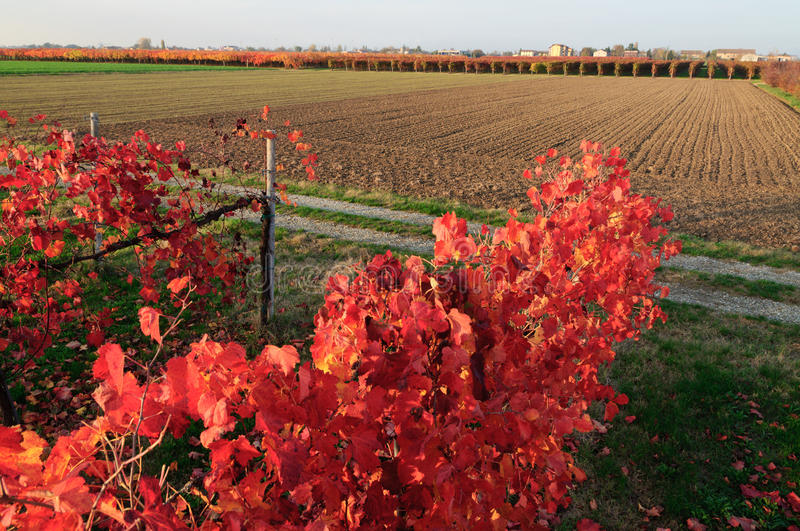 Download Vineyard in autumn stock photo. Image of grow, fall, branch - 27147726