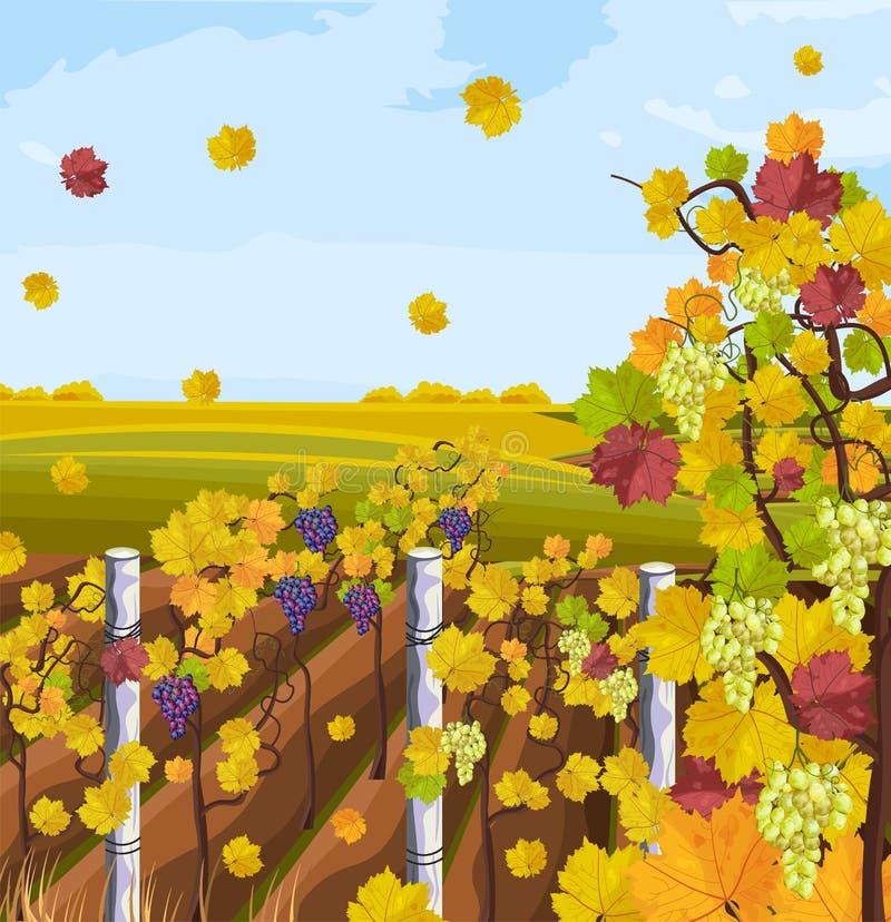Vineyard autumn background Vector. Fall decors card. Vineyard autumn background Vector. Fall decor postcard vector illustration