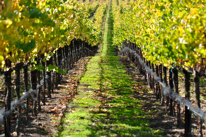 Vineyard in Autumn Fall royalty free stock image