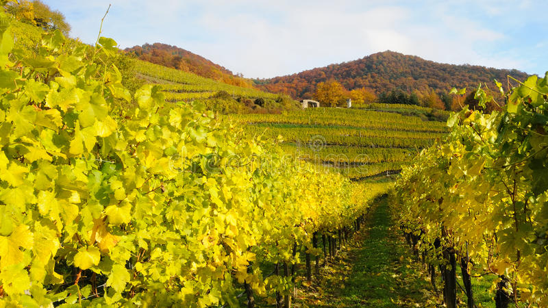 Download Vineyard in autumn no.8 stock image. Image of foliage - 11712057