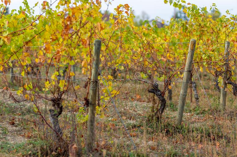 Vineyard in autumn. Wooden poles with stretched metal wire support the vineyard. Dry grass and yellow leaves. stock photography