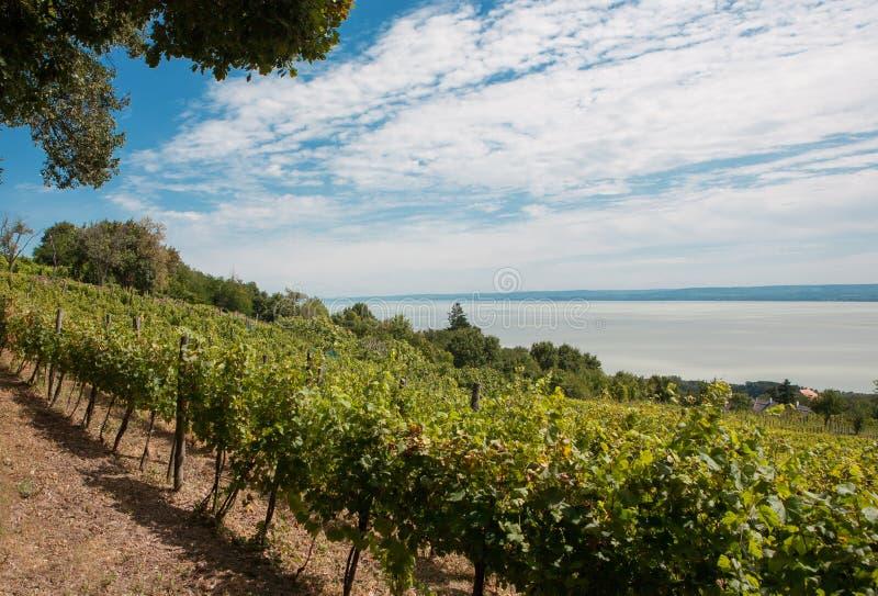 Vineyard at Badacsony, Lake Balaton, Hungary royalty free stock images