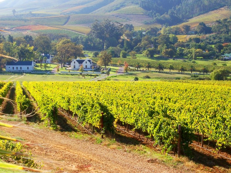 Vineyard Banhoek Cape S. Africa Royalty Free Stock Images