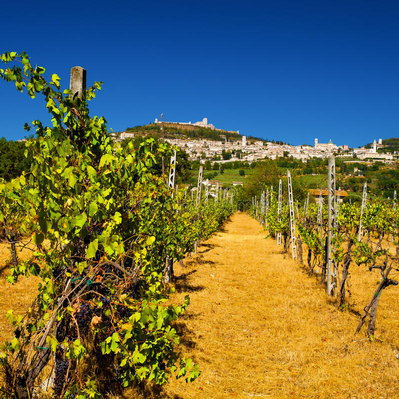 Vineyard Bellow Rocca Maggiore in Umbria, Assisi During a Hot Summer Day stock photography